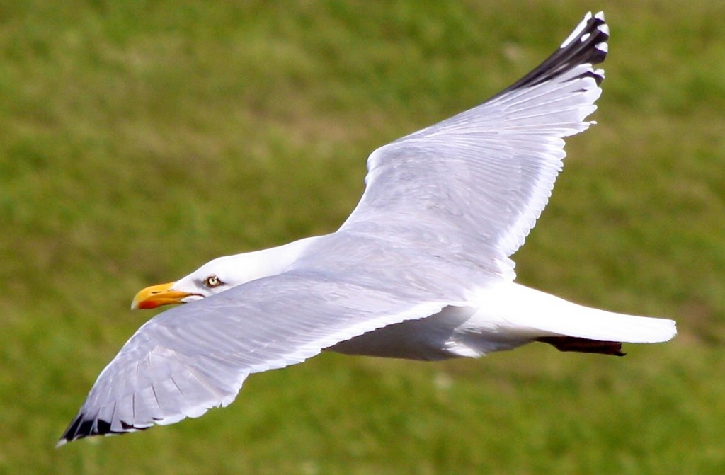 flygandefgl  499